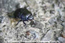 Käfer 037