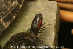 Schildkröte im Schmetterlingshaus Insel Mainau