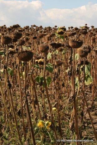 Sonnenblumen 4068