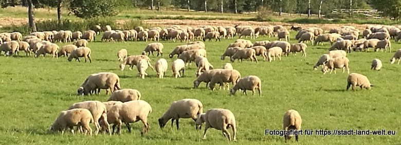 Schafe - Schäfchen zählen