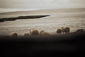 Island, Schafe, Anne Moldenhauer