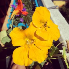 Balkonblumen_ c Sabine Karrer