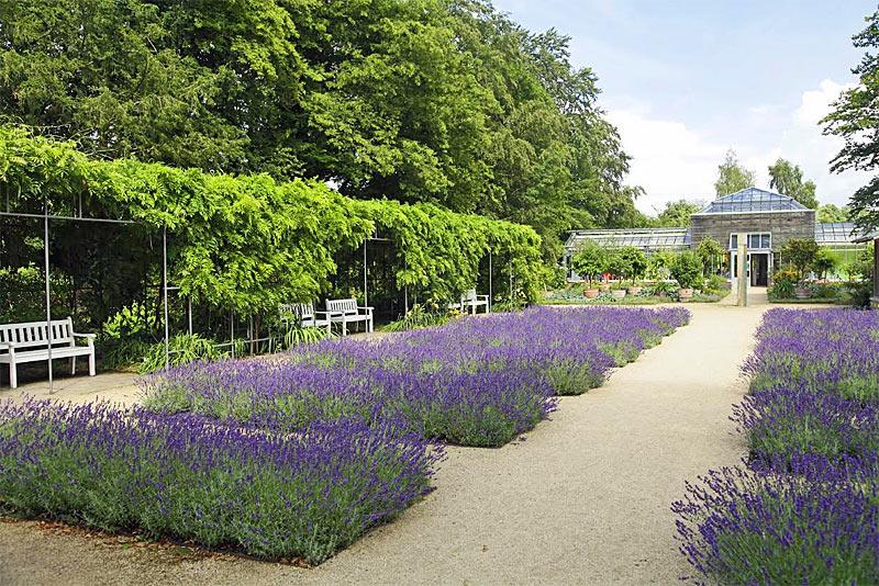 Echter Lavendel Im Lavendelgarten Botanischer Garten Gütersloh