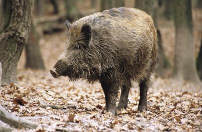 Animal Spirit 1 - The Boar (2/2)