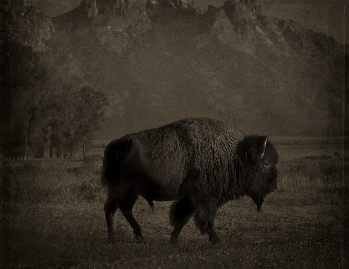 Buffalo © Jack Spencer