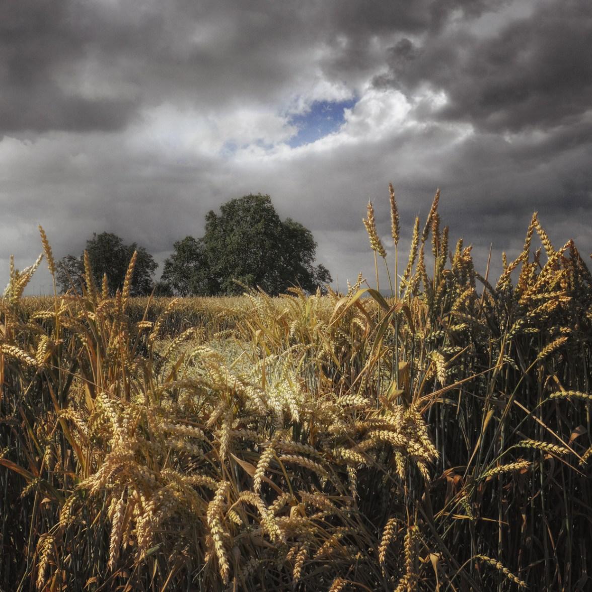 Wheat Field © Bernd Webler