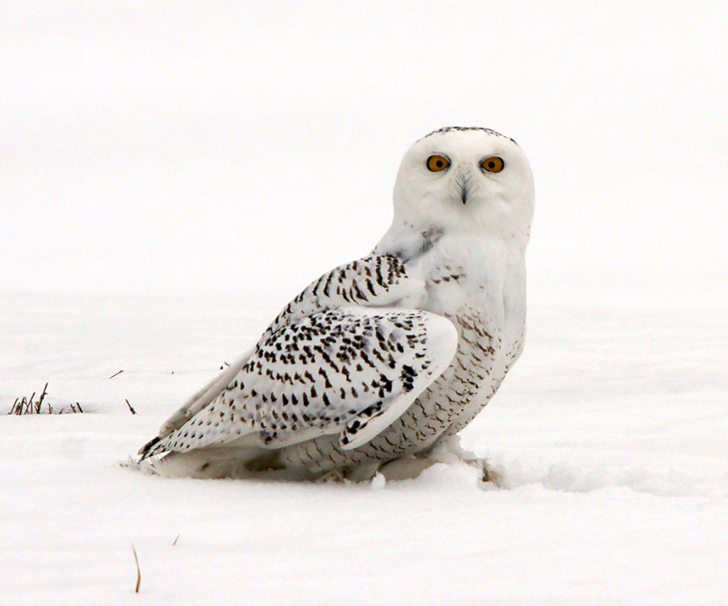 The snowy owl is seen in winter, usually in open areas near the coast. It is one of the species to be seen on Stanton Bird Club's March field trip.