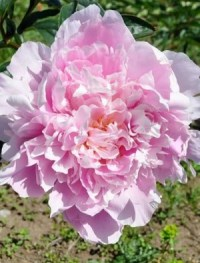 Peony 'Dinner Plate'   Claire Austin