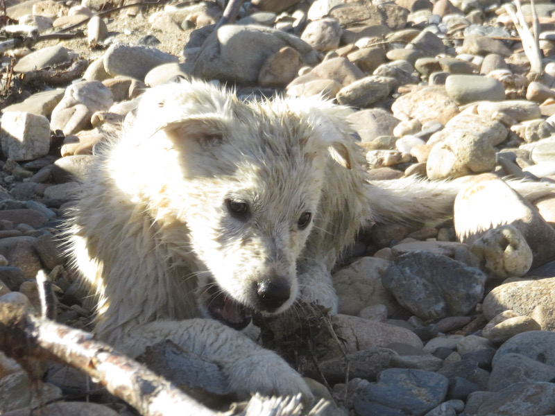 Ivory playing at the river age 8 weeks.