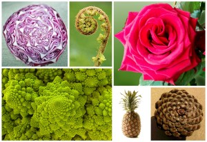 A photographic collage showing other examples of the Fibonacci sequence in Nature: red cabbage, fern, rose, Romanesco broccoli, pineapple and pine cone..