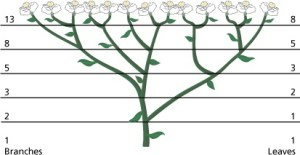 A drawing showing the Fibonacci can be found in plant growth, such as Sneezewort.