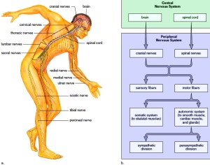A diagram showing the Central Nervous System (CNS) and a flowchart explaining how it sends out signals to the Peripheral Nervous System (PNS).
