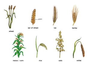 An illustration showing the various types of cereal crops: wheat, rye, barley, corn, rice, oats and millet.