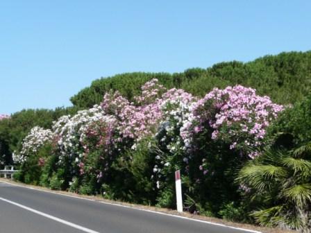 Oleander brightens the roads in Sardinia, near Alghero