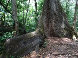 Ancient cedar tree