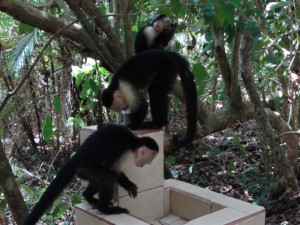 White-faced monkeys. Manuel Antonio National Park, Costa Rica