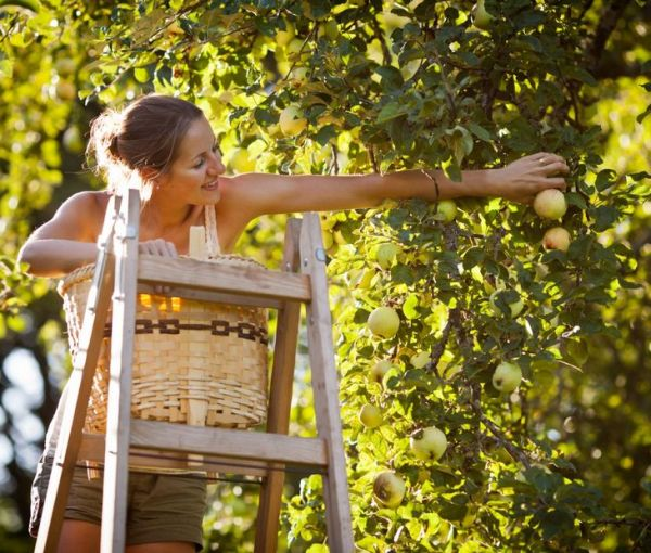 Wooden stepladder for collecting apples