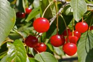 Visini sour cherries