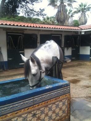 Jimmy älskar att dricka ute, precis som de flesta hästarna i stallet