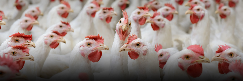 stalosan f for poultry