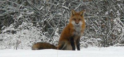 vtfw-red-fox