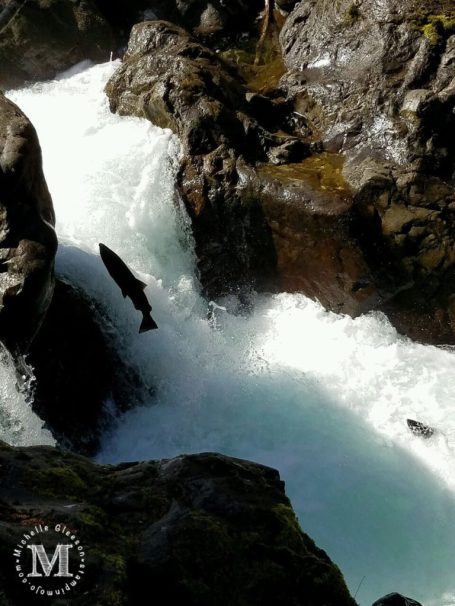 Salmon Running in the Sol Duc Falls Olympic National Park