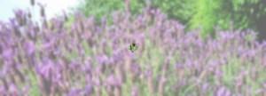 lavenderoverlayAnnetteMcMillan15112017