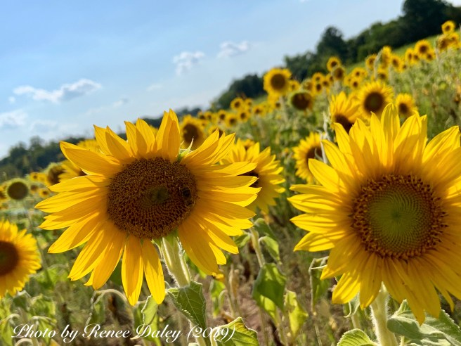 Photo image of a sunflower field taken by Renee Daley 2019