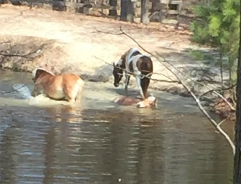 Horses having a swim