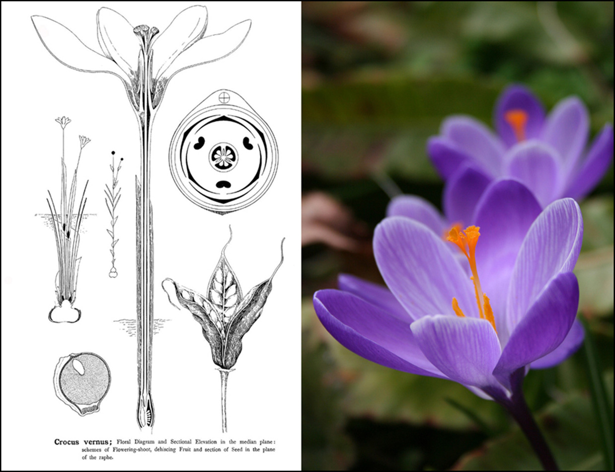 hight resolution of crocus drawing photo 1
