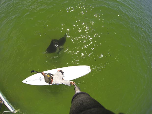 Jimmy Scott: Believe it or not, this is a small Manta Ray. He swam under my board just off shore of Siesta Key, Florida.