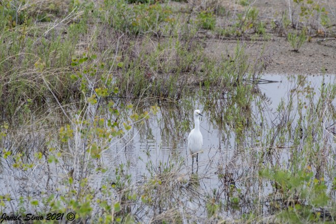 Snowy Egret on Rivertown Property, May 23, 2021. Photo by Jamie Simo.