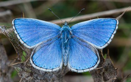 Polyommatus_bellargus_male,_Aveyron,_France_-_Diliff