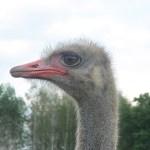 Африканские страусы в Станьково