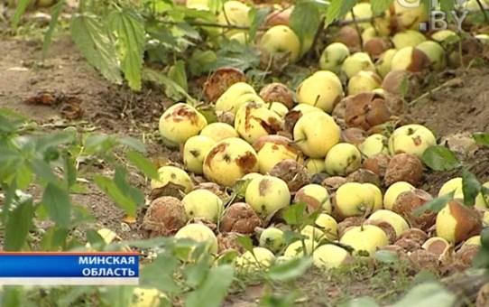 Обмен опавших яблок на школьную форму производит Белкоопсоюз в деревенских магазинах, но мало кто об этом знает