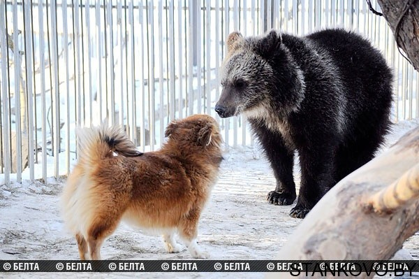 Собака – друг... медведя! | 7 Дней