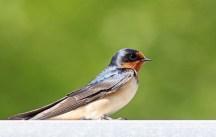 Barn swallow by Liron Gertsman