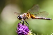 Female blue dasher by Don Enright