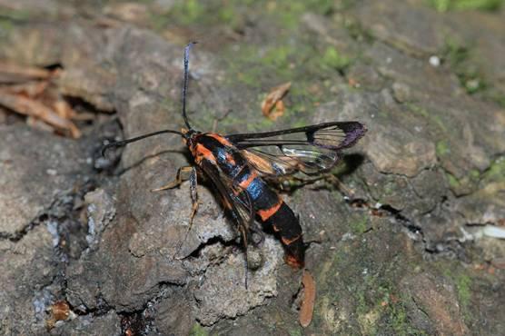Douglas-fir pitch moth by Peter Woods