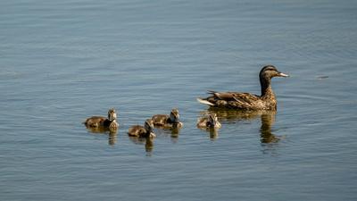 mom and duckling mallards M.Schmidt