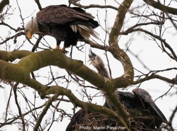 eagle and heron