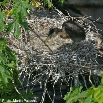 heron chick on nest
