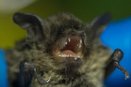 brown bat Schmidt