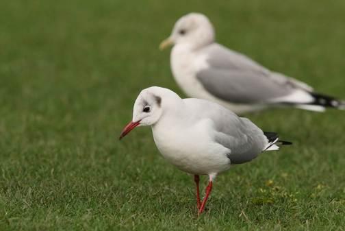 black headed gull Peter Woods