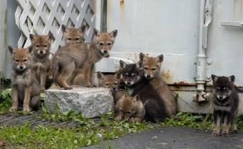 Coyote Pups - Credit Mark White (1)