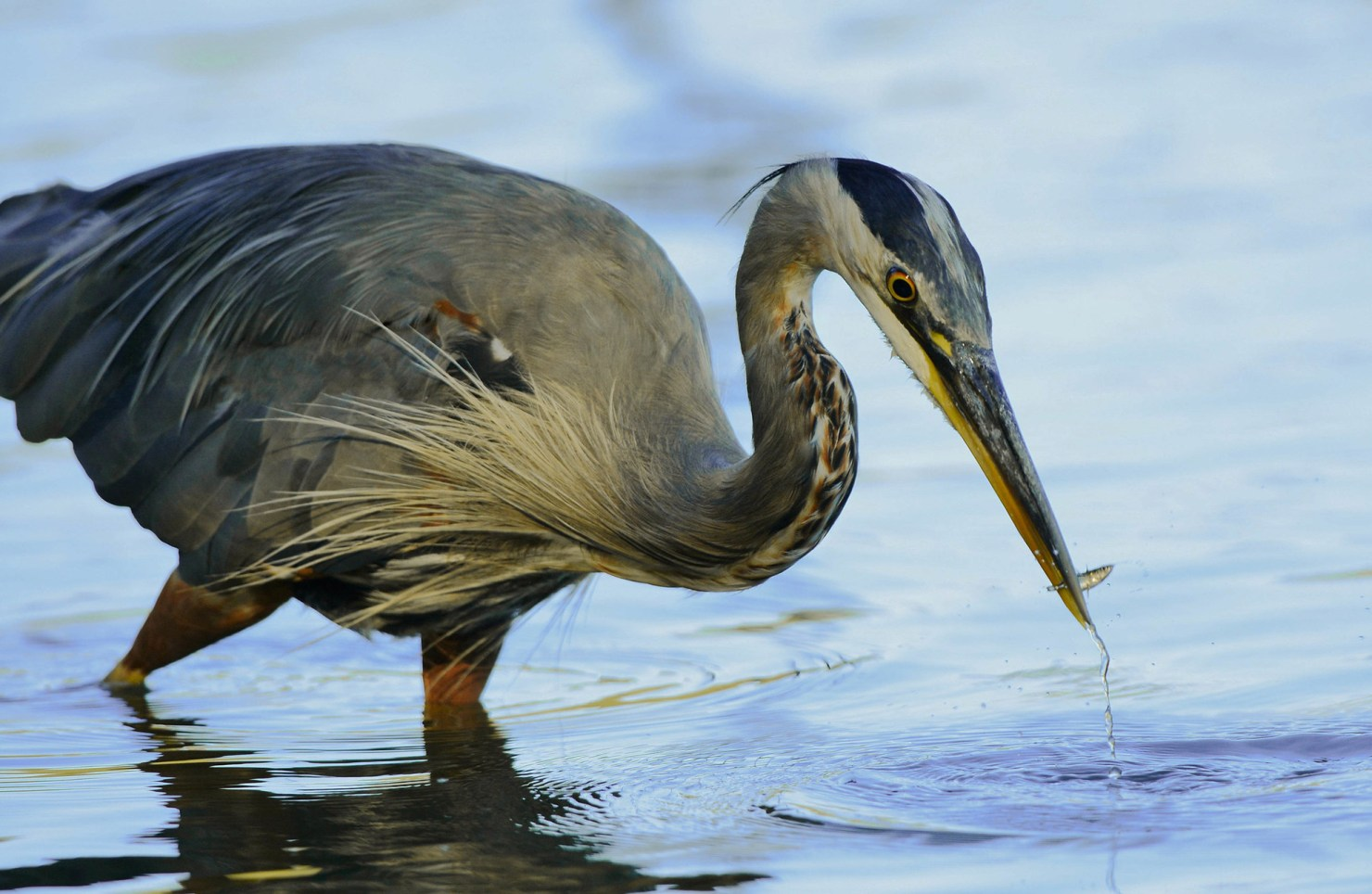 Come by Stanley Park and try to spot a heron!