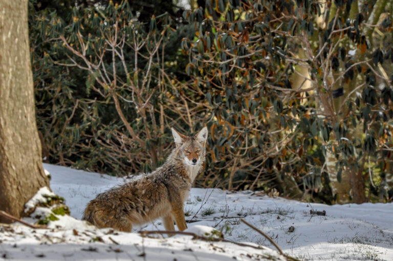 A coyote in the snow