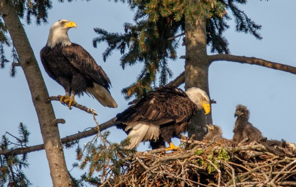 Two adult bald eagles in a nest with two eaglets