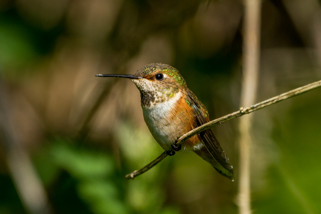 A hummingbird rests on a small branch