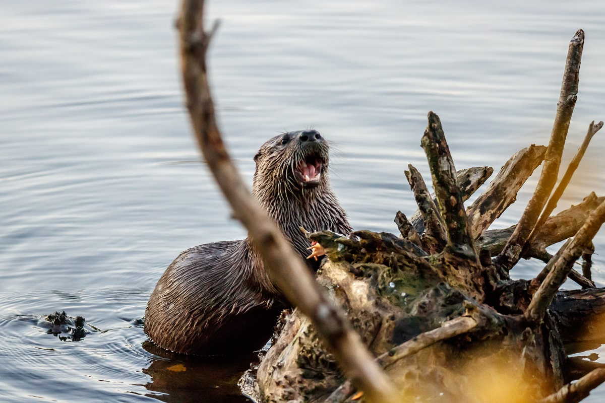 River otter eating a fish on a fallen log in the water